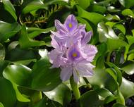 A photo of Water Hyacinth