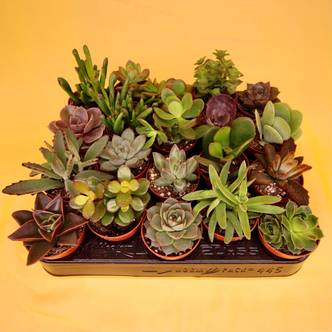 ×5 Succulent Mini Mix Selection - 5cm pot
