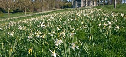Daffodils in a grass covered field