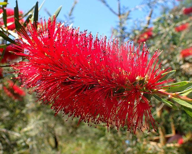 A close up of a fluffy red flower on a Melaleuca linearis var. linearis plant