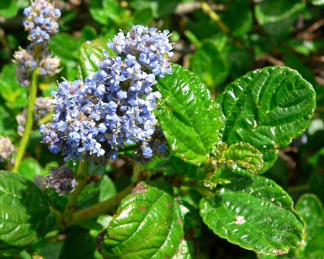 A close up of some green leaves of a Ceanothus plant with blue flowers in a garden
