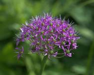 Allium wallichii GotBot 2015 004