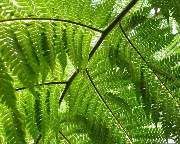 A picture of a Cyathea