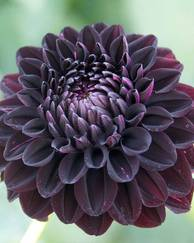 A photo of Garden Dahlias