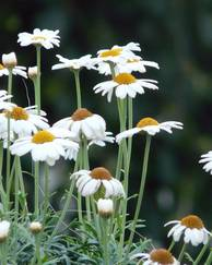 A photo of Argyranthemum frutescens 'Mollmba Monroe White'