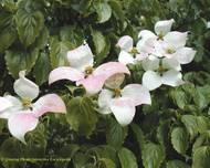 A photo of Chinese Dogwood