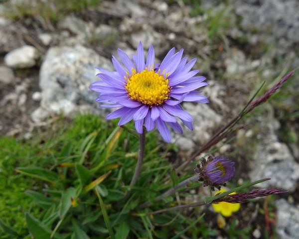A picture of a Alpine Aster