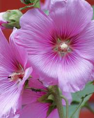 A photo of Hollyhock