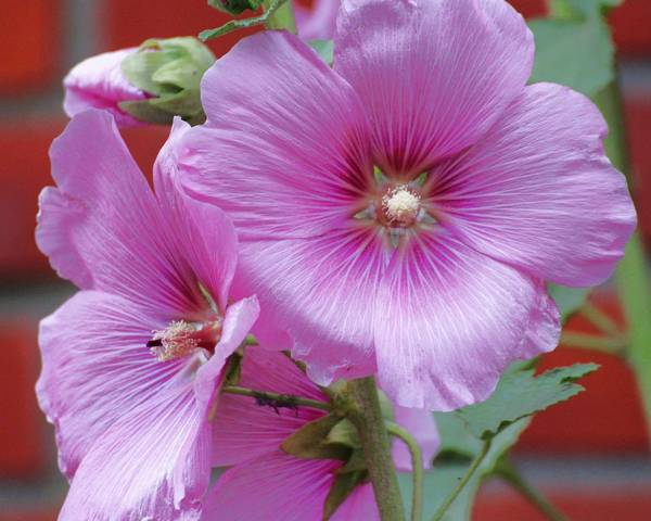 A picture of a Hollyhock