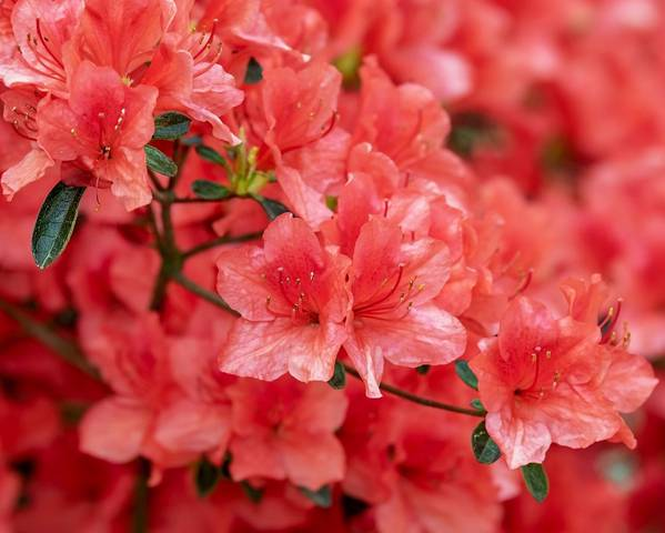 A picture of a Azalea