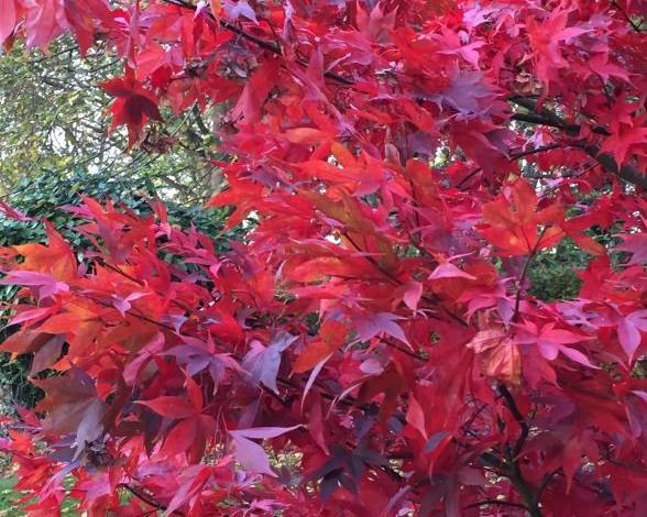 A red leaf maple tree