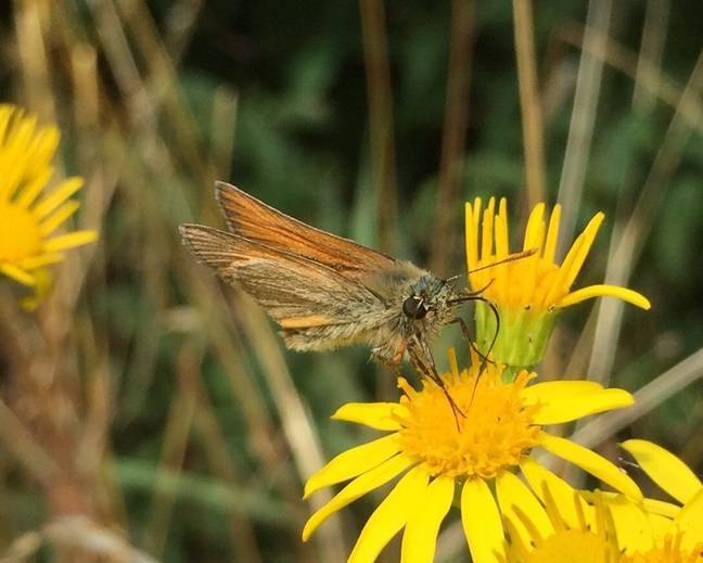 A photograph of a small skipper Thymelicus sylvestris on a flower