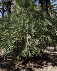 A photo of Fan palm