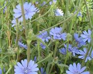 A photo of Cichorium