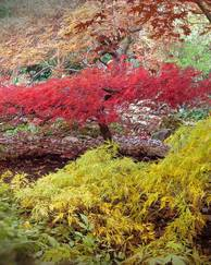 A photo of Downy Japanese Maple 'Aconitifolium'