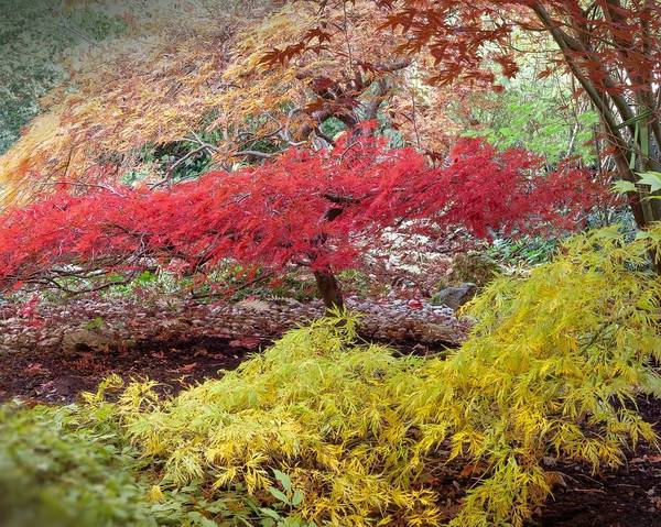 A picture of a Downy Japanese Maple 'Aconitifolium'