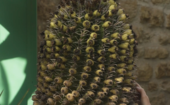 Plant of the week: Ferocactus horridus
