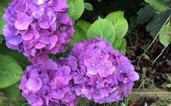 A photo of Hydrangea