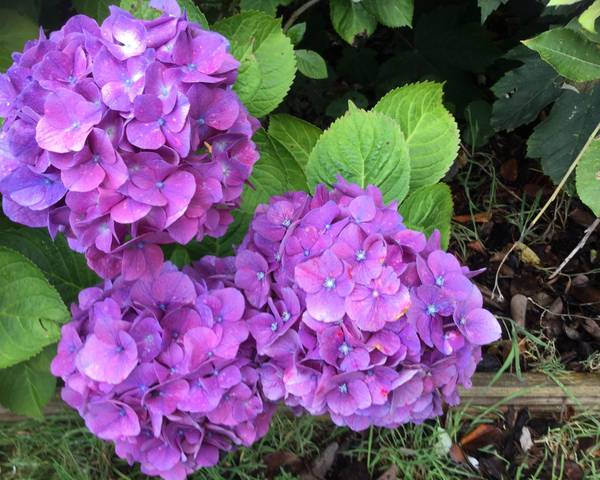 A picture of a Hydrangea