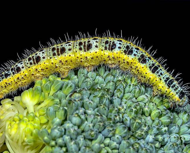 A close up image of a large white butterfly cateroillar Pieris brassicae on a broccoli floret
