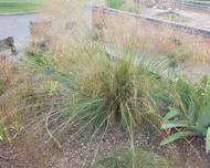 A photo of Spear grass