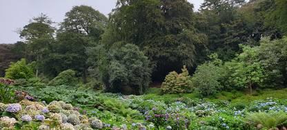 Hydrangeas Trebah Gardens