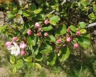 Malus sylvestris (villeple) knopper