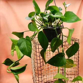 Golden Pothos, Devil's Ivy - 30cm trail in 15cm hanging pot