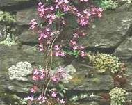 A photo of Rock jasmine