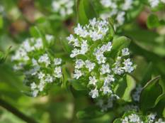A close up of some white Valerianella locusta flowers