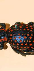 A photo of Red-Spotted Lily Weevil