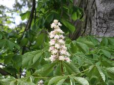 A close up of some white Aesculus hippocastanum flowers and green leaves