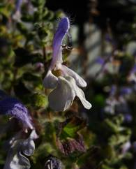 A photo of Blue Sage