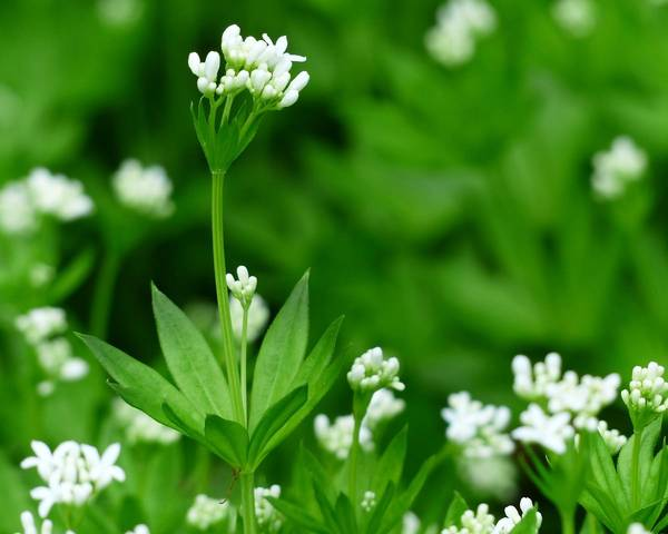 A picture of a Galium