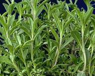 A photo of Winter Savory
