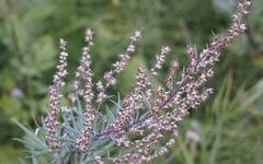 A photo of Mugwort