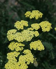 A photo of Achillea millefolium 'Moon Dust'