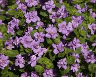 A photo of Bacopa 'Scopia Double'