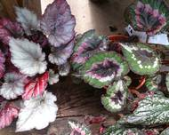 A photo of Painted-Leaf Begonia
