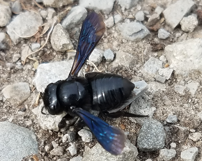 A close up of a carpenter bee from the genus Xylocopa on the ground