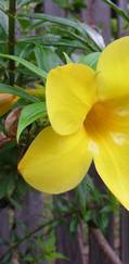 A photo of Yellow bells