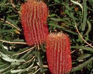 A photo of Banksia