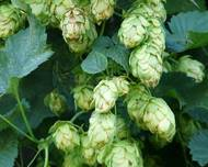 A photo of Humulus