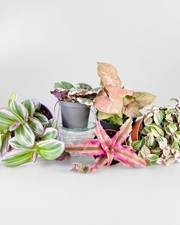 Baby Pink Plant Pack - FREE DELIVERY