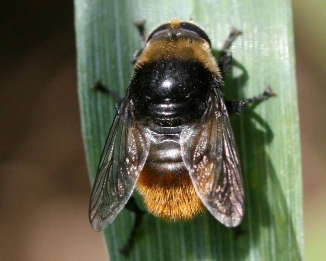 A close up of Merodon equestris Narcissus bulb fly