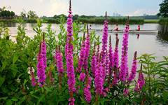 A photo of Purple Loosestrife
