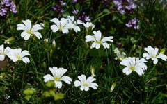 A photo of Cerastium