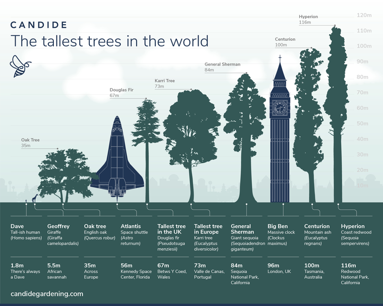 Tallest Trees in the World infographic comparing Hyperion, Centurion, General Sherman and other giant trees