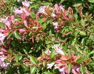 A photo of Abelia 'Edward Goucher'