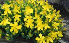A photo of Mount Olympus St John's Wort